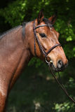 Potrait of beautiful horse with bridle Royalty Free Stock Image