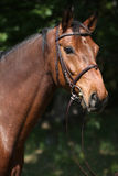 Potrait of beautiful horse with bridle Royalty Free Stock Photography