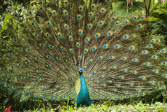 Potrait of beautiful peacock Royalty Free Stock Photography