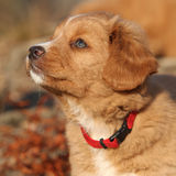 Potrait of beautiful puppy of Nova Scotia in nature Royalty Free Stock Photography
