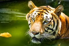 Potrait of Bengal tiger. Potrait of Bengal tiger in water stock photos