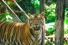 Potrait of Bengal tiger. Potrait of Bengal tiger in zoo stock image