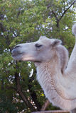 Potrait of a camel Royalty Free Stock Photography