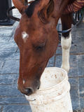 Potrait of carriage bay horse in Santo Domingo, Dominican Republ Royalty Free Stock Photo