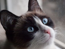 Potrait of cat breed snowshoe, closeup Royalty Free Stock Photo