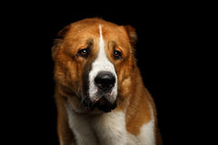 Potrait of Central Asian Shepherd Dog or Alabai on Black Background Stock Photography