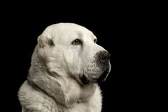 Potrait of Central Asian Shepherd Dog or Alabai on Black Background Stock Photos