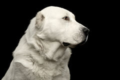 Potrait of Central Asian Shepherd Dog or Alabai on Black Background Royalty Free Stock Photo