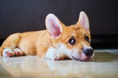 Smirking dog. A potrait of a corgi which is smirking and staring at her pawparents royalty free stock image