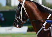 Potrait czerwony koński kłusaka traken w ruchu na hipodromu zdjęcie royalty free