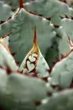 Potrait da agave Imagens de Stock