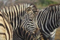 Potrait da zebra Foto de Stock Royalty Free