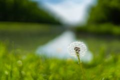 Potrait of a dandelion with extrem blurry background. On sunny day royalty free stock image