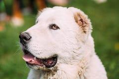 Potrait de berger asiatique central Dog Alabai - une race antique Photographie stock