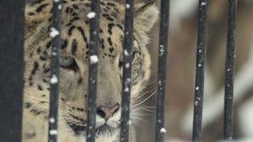 Potrait de la onza en una jaula en un parque zoológico, Novosibirsk, Rusia metrajes