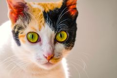 potrait de um gato doméstico fotografia de stock royalty free