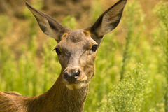 Potrait of a deer outdoors Stock Image