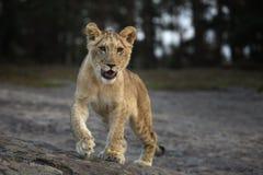 Potrait del cubo joven del león del dar une vuelta del Panthera leo - Foto de archivo