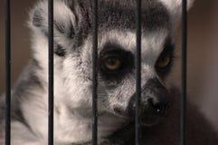 Potrait del lemur fotografía de archivo libre de regalías