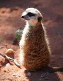 Potrait del surikata foto de archivo