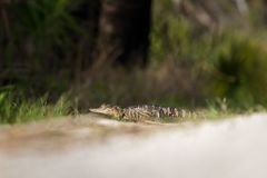 Potrait des Alligators Lizenzfreie Stockfotos
