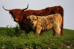 Potrait des Mutter- und Kinderhochländers, wilde Kühe in Europa lizenzfreies stockbild