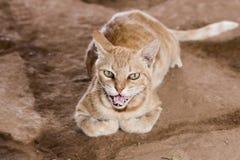 Potrait do gato bonito de Brown fora foto de stock royalty free