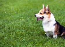 Potrait of dog . Potrait of dog loking on master Royalty Free Stock Images