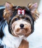 Potrait of dog . Potrait of dog loking on master Stock Images