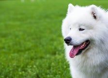 Potrait of dog . Potrait of dog loking on master Royalty Free Stock Photo