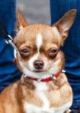 Potrait of dog . Potrait of dog loking on master Royalty Free Stock Photos