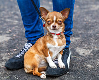 Potrait of dog . Royalty Free Stock Images