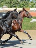 Potrait dwa koni kłusaka traken w ruchu na hipodromu obraz stock