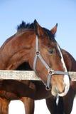 Potrait för sidosikt av trevlig fullblods- hästvintertid Royaltyfria Bilder