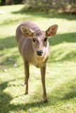 Potrait female deer watching camera on park Royalty Free Stock Image