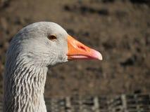 Potrait of a goose Stock Photos
