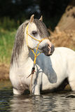 Potrait of gorgeous stallion bathing in river Royalty Free Stock Photo