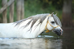 Potrait of gorgeous stallion swimming in river Stock Images