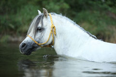 Potrait of gorgeous stallion swimming in river Stock Photography