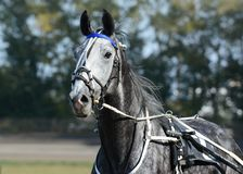 Potrait of a gray horse trotter breed in motion on hippodrome. Harness horse racing stock images