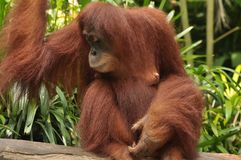 Potrait of Mother Orang Utan in Singapore Zoo. The potrait of a mother orang utan in Singapore Zoo, sitting on a plank of wood Royalty Free Stock Images