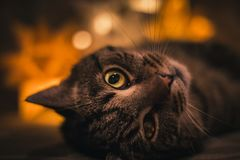 Potrait obdzierający kot kłaść na kanapie z pomarańczowymi światłami na backround Stary kot kłaść w zmroku z lampą z zdradzonym o obraz stock