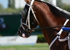 Potrait of a red horse trotter breed in motion on hippodrome. Harness horse racing royalty free stock photo