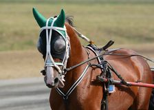 Potrait of a red horse trotter breed in motion on hippodrome. Harness horse racing stock photo