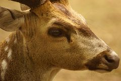 Potrait repéré de cerfs communs photographie stock