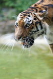 Potrait of a siberian tiger Royalty Free Stock Photos