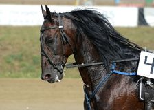 Potrait of strong dark bay horse trotter breed in motion on hippodrome. Harness horse racing stock photos
