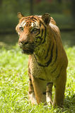 Potrait of a tiger. A close up photo potrait of a tiger royalty free stock image