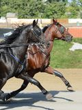 Potrait of a two horses trotter breed in motion on hippodrome. Harness horse racing stock image