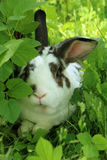 Potrait of twocollored rabbit with long ears in long grass Royalty Free Stock Photography